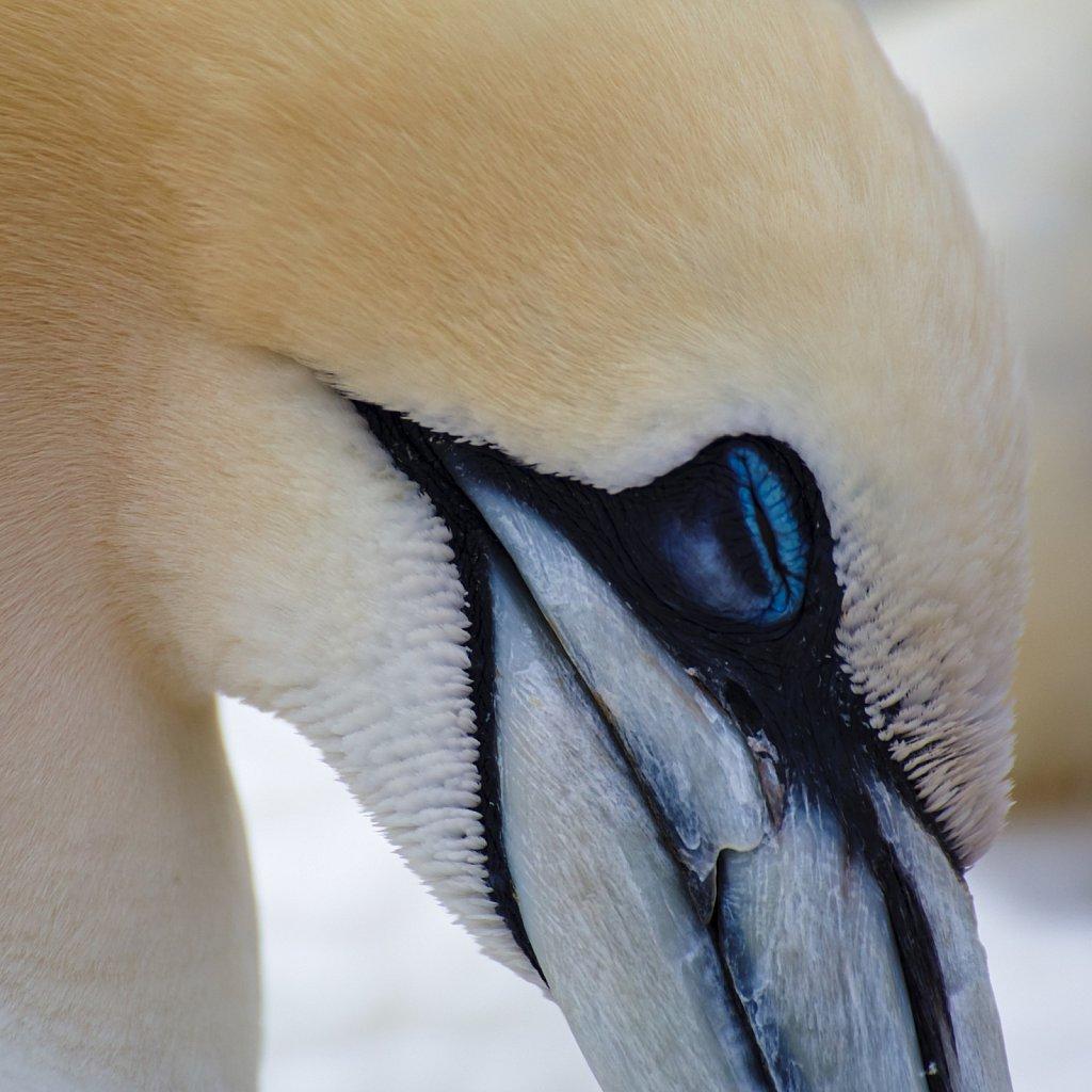 Northern gannet at sleep