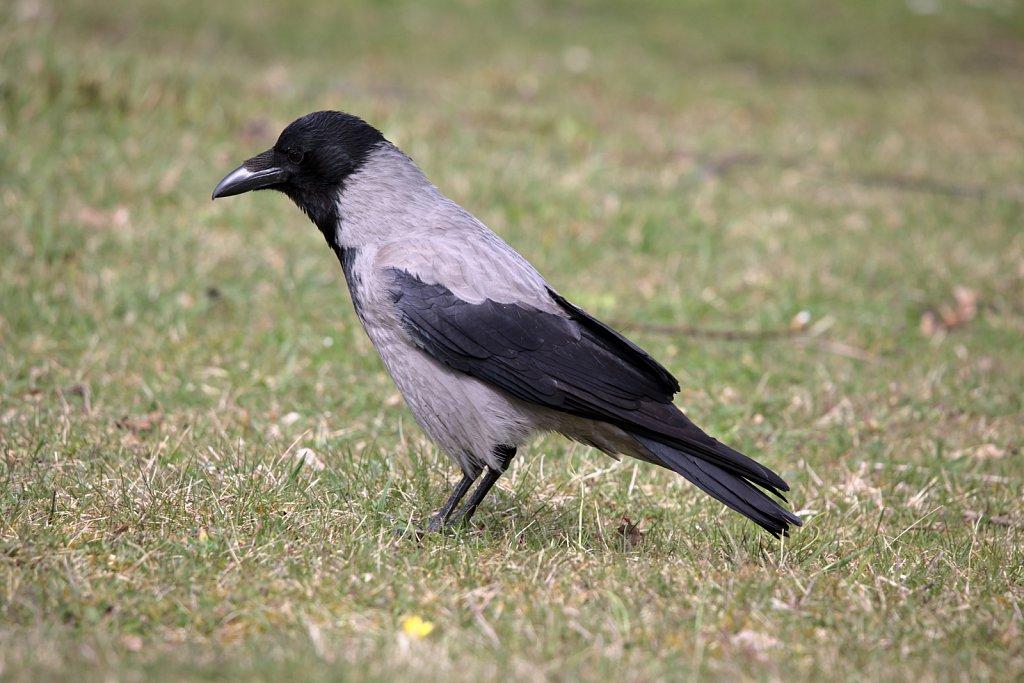 Nebelkrähe / Hooded Crow