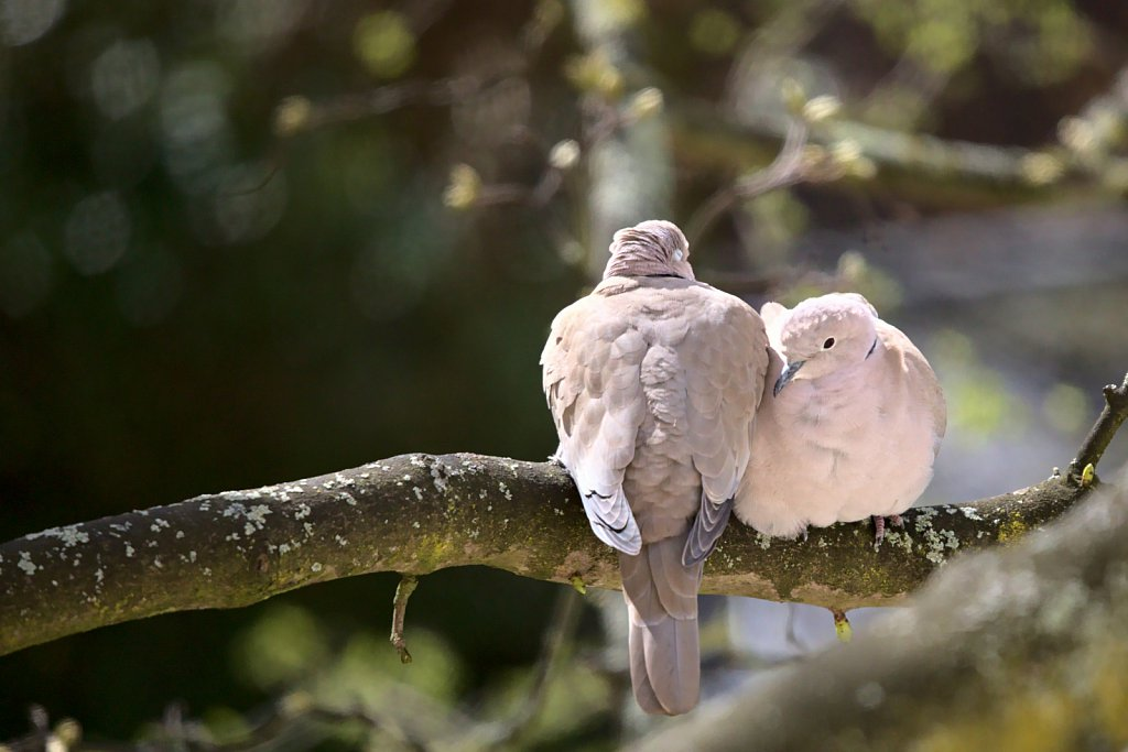 Turteltaube / European Turtle Dove